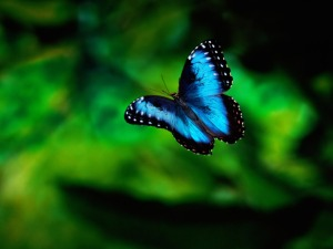 Flying-Blue-Butterfly